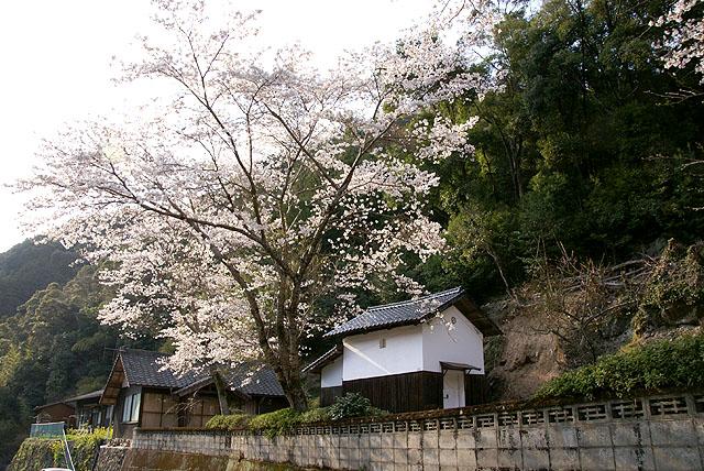 天満神社の桜
