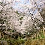 小狭公園の桜