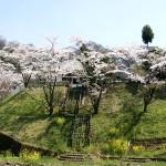 遊子川小学校の桜