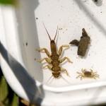水生生物調査ー採取した生物(カワゲラ)
